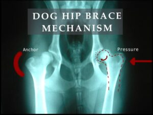 Dog hip brace mechanism action