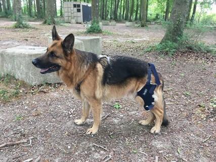 Dog knee brace leg support ACL